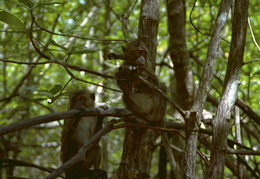 monkeys among the mangroves