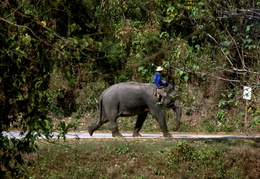 elephant heading down the road
