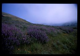wildflowers & fog