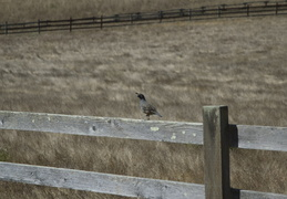 Quail and fence
