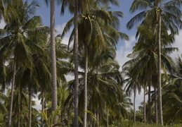palms along Khao Lak