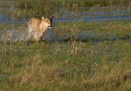 Lioness crossing the water