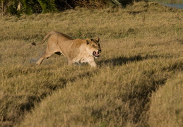 Lioness on the charge