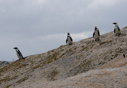 penguins heading to water