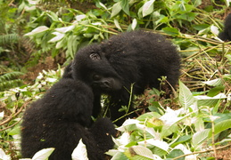 Baby Mountain Gorillas playing in the jungle