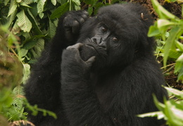 Mountain Gorilla
