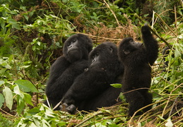 Mountain Gorillas