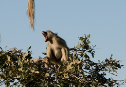 Howling Baboon
