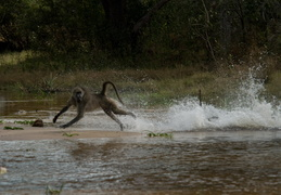 Baboons crossing a stream
