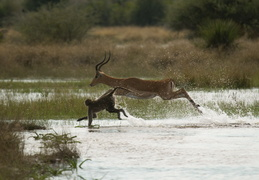 Baboons & Impala crossing a stream