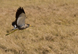 Wattled Lapwing in flight