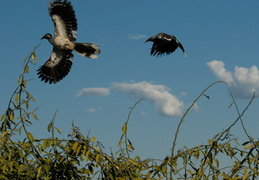 Hornbills in flight