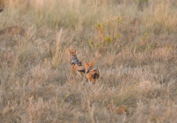 Black-backed jackyl