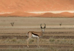 Springbok among the dunes