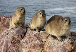 Hyrax on the rocks