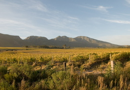 Vineyards in the South African wine country