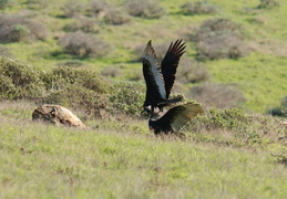 Turkey Vultures fighting over a carcas