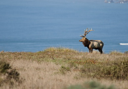 Tule Elk in front of the Pacific