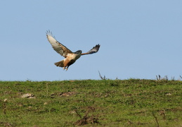 Red-tailed hawk landing in the grass