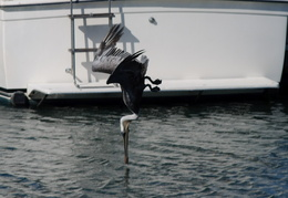 pelican diving in the water