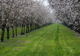 flowering orchard