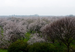 orchards in the Central Valley