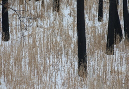 charred trunks in the snow