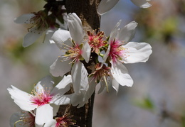 almond blossoms in bloom