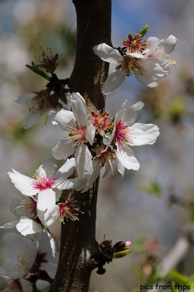 almond blossoms in bloom2010d10c073.jpg