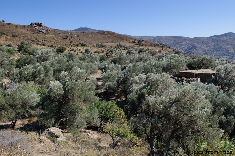 Olive trees in the countryside2010d18c142.jpg