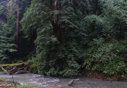 newly-restored creek running through Muir Woods