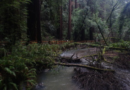 Redwoods & Creek